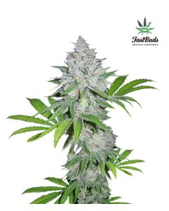 Fast Buds – California Snow Cannabis Seeds