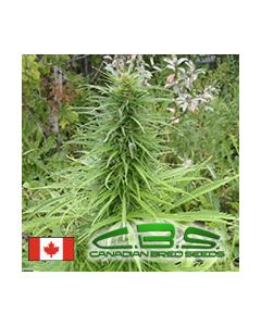 Canadian Bred Seeds - Early Sativa Cannabis Seeds