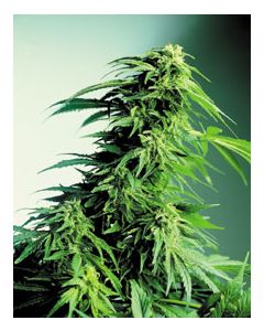Canadian Bred Seeds -Hindu Kush Cannabis Seeds