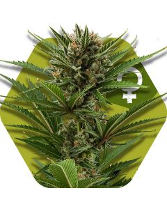 Zambeza Seeds - Candy Caramelo Marijuana Seeds
