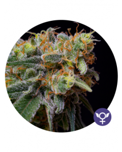 Bulldog Seeds – Caramelicious Cannabis Seeds