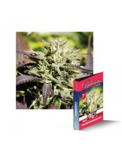 Delicious Seeds – Caramelo F1 Rapid Marijuana Seeds