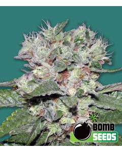 Bomb Seeds – CBD Bomb Cannabis Seeds