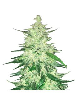 Fast Buds – CBD Crack Cannabis Seeds