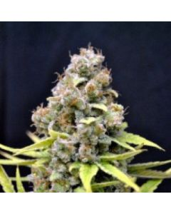 CBD Crew – Shark Shock Marijuana Seeds