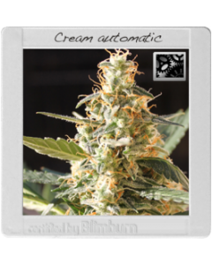 Blim Burn Seeds - Cream Automatic Cannabis Seeds