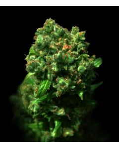 VIP Seeds – Cheese Marijuana Seeds
