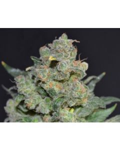CBD Seeds - Cheese