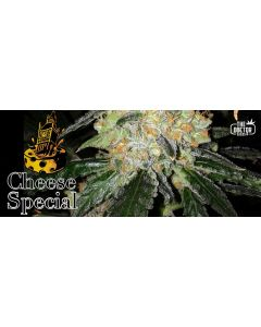 The Doctor – Cheese Special Cannabis Seeds