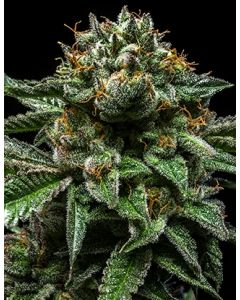 Ripper Seeds – Chempie Marijuana Seeds
