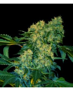 VIP Seeds – Chingis Khan Marijuana Seeds