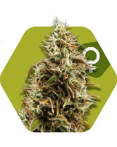 Zambeza – Chocolope Cannabis Seeds