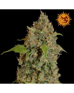 Barneys Farm - Chronic Thunder
