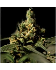 Buddha Seeds - Citral Skunk