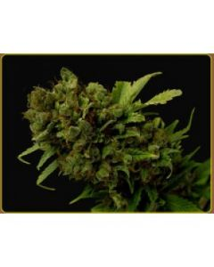 Soma Seeds – Citralah Marijuana Seeds