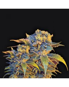 VIP Seeds – Colombian Sweet Marijuana Seeds