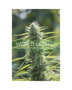 World of Seeds - Columbia Gold Cannabis Seeds