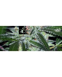 The Doctor – Cristalica Cannabis Seeds