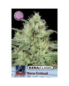 Kera Seeds – Critical Cannabis Seeds