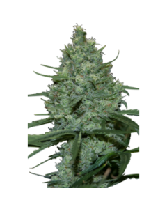 Seedmakers Seeds – Critical Marijuana Seeds
