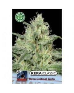 Kera Seeds – Critical Auto Cannabis Seeds