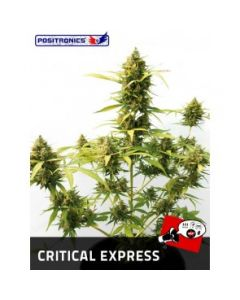 Positronics Seeds - Critical Express Marijuana Seeds