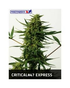 Positronics Seeds - Critical Express #47 Marijuana Seeds