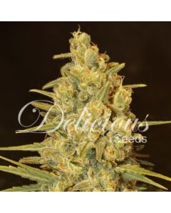 Delicious Seeds - Critical Sensi Star
