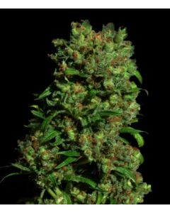 VIP Seeds – Critical VIP Marijuana Seeds