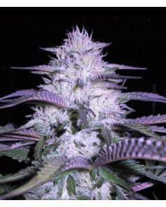 VIP Seeds – Currant Kush Marijuana Seeds