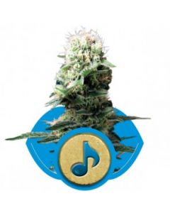 Royal Queen Seeds – Dance World Cannabis Seeds