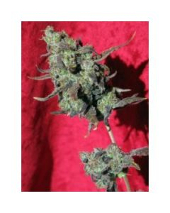 Reggae Seeds – Dancehall Marijuana Seeds