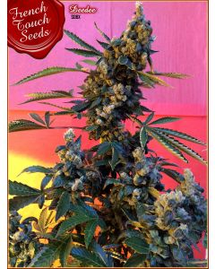 French Touch – Deedee BX1 Marijuana Seeds
