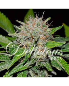 Delicious Seeds – Deep Mandarine Marijuana Seeds