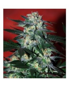 World of Seeds - Delirium Cannabis Seeds