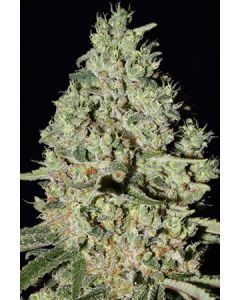 Super Stains – DFA Auto Marijuana Seeds