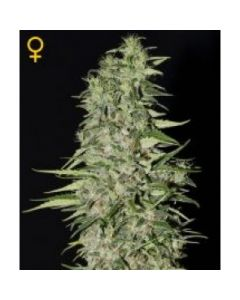 Green House Seeds - Diamond Girl