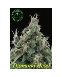 Sagarmatha Seeds – Diamond Head Marijuana Seeds