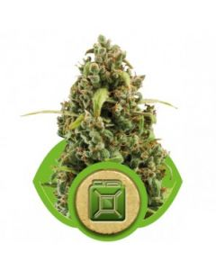 Royal Queen Seeds – Diesel Automatic Cannabis Seeds
