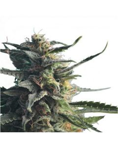 Hero Seeds – Diesel Girl Cannabis Seeds