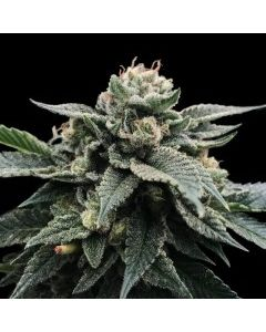 DNA Genetics Sorbet Collection – Sorbet Stash Cannabis Seeds