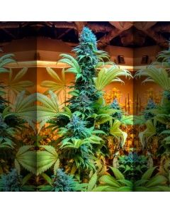 Brother Grimm – Grimmdica Marijuana Seeds