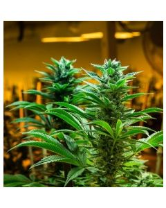 Brother Grimm – Hashmaster Marijuana Seeds