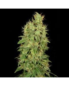 Serious Seeds – CBD Chronic Marijuana Seeds