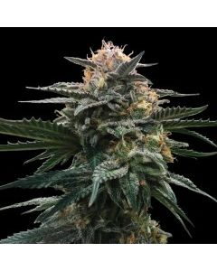 DNA Genetics Sorbet Collection – Bloody Orange Cannabis Seeds