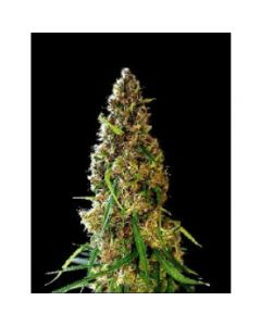 Simply Female Seeds – Dragons Breath Marijuana Seeds
