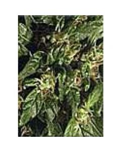 High Quality Seeds - Durban Poison Amazing Special