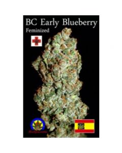 Next Generation – Early Blueberry Cannabis Seeds