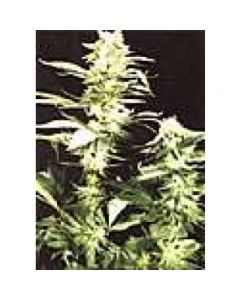 High Quality Seeds - Early Girl