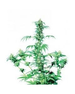 Sensi Seeds – Early Girl Cannabis Seeds